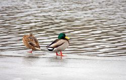 The wild duck and drake. Wild duck and drake on ice at water Stock Photography