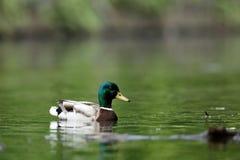 Wild Duck Drake Mallard Stock Photo