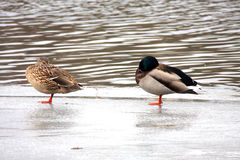 The wild duck and drake Royalty Free Stock Photos