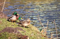 Wild duck and drakes ashore. Wild duck and drakes on the bank of the lake Royalty Free Stock Image