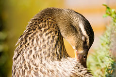 Wild duck dress its feathers Royalty Free Stock Photography