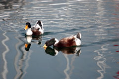 Wild duck drinking water Stock Image