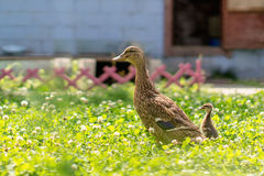 Wild duck with the duckling in the grass. Wild duck with the duckling in the grass Stock Photo