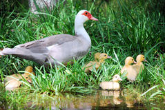 Wild Duck with Ducklings. A wild duck with her ducklings at the edge of a pond on a hot summer afternoon royalty free stock image