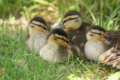 Wild duck ducklings (Anas platyrhynchos) Royalty Free Stock Images