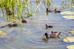 A wild duck with ducklings floating along the river among the cane_. A wild duck with ducklings floating along the river among the cane royalty free stock photos
