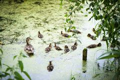 Wild duck with ducklings on pond covered in mud. Wild duck with many little ducklings on  pond covered in mud. Duck family swims and dines stock images