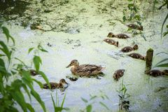 Wild duck with ducklings on pond covered in mud. Wild duck with many little ducklings on  pond covered in mud. Duck family swims and dines royalty free stock image