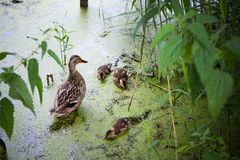 Wild duck with ducklings on pond covered in mud. Wild duck with many little ducklings on  pond covered in mud. Duck family swims and dines royalty free stock photo
