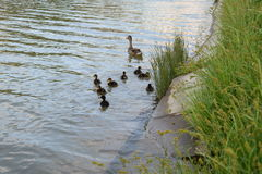 Wild duck and ducklings sailing near the green grass stock photos