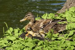 Wild duck with ducklings on the shore of the lake, near the tree trunk, on the green grass. Against the lake Royalty Free Stock Image