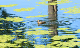 Wild duck with ducklings Royalty Free Stock Images