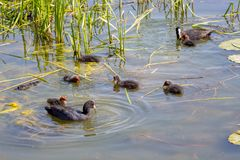 Wild duck with ducklings swim in the river among the cane_. Wild duck with ducklings swim in the river among the cane stock photos