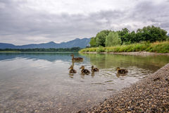 Wild duck family. Wild duck familiy on the forggensee royalty free stock photo