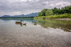 Wild duck family. Wild duck familiy on the forggensee Stock Images
