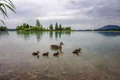 Wild duck family. Wild duck familiy on the forggensee Royalty Free Stock Image