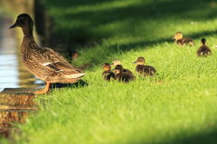 Wild duck family. On the grass royalty free stock images
