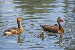 Wild Duck family. In the pool stock photos