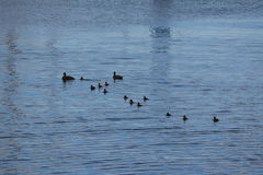 Wild duck family on their journey. A family with mother and father duck, floating on the water, followed by their many ducklings - their kids. Background, the royalty free stock photos