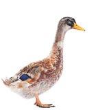 Wild duck. Farm bird isolated on white Royalty Free Stock Image