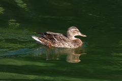 Wild duck. female Royalty Free Stock Images