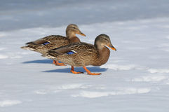 Wild duck female (Anas platyrhynchos). In the winter on snow Royalty Free Stock Photos