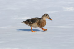 Wild duck female (Anas platyrhynchos). In the winter on snow Stock Image