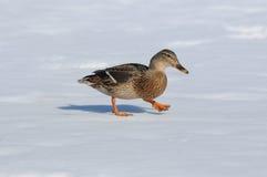 Wild duck female (Anas platyrhynchos) Stock Image