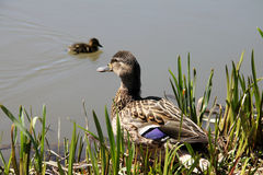 Wild duck female Royalty Free Stock Photos