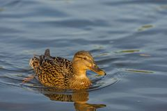 Duck, female floats in the river. Wild duck, female floats in the river Stock Images