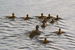 Wild duck female with her ducklings swimming in lake. Close up Royalty Free Stock Images