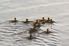 Wild duck female with her ducklings swimming in lake. Close up stock photo