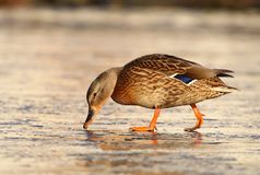 Wild duck female Royalty Free Stock Photography