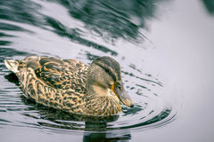 Wild duck. Female wild duck on the lake Stock Photos
