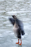 A wild duck flapping wings. A wild duck flapping wings in Serbia, Belgrade Stock Photography