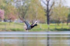 Wild duck flies. Mallard drake Flying. Wild duck flies Stock Photography