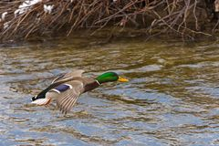 The wild duck flies. Over the river Royalty Free Stock Image