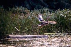 Wild duck. Flight of the wild duck stock photo
