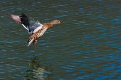Wild duck in flight. Stock Images
