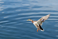Wild duck flight Royalty Free Stock Images