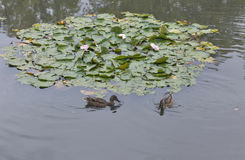 Wild Duck Floating In The Pond With Water Lily Royalty Free Stock Photo