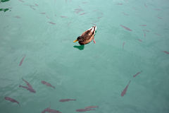 Wild duck floating in lake Stock Image