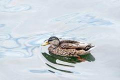 Wild duck floating on water. Wild duck floating in lake Stock Photos
