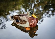 Wild duck floating on a pond stock image