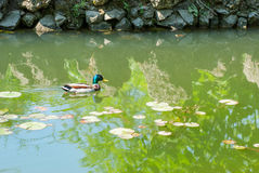 Wild duck floating on a pond Royalty Free Stock Photography