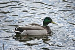 Wild duck floating in water. Close up Stock Photography