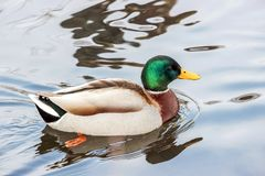 Wild duck floating on water. Close up of wild duck floating on water Royalty Free Stock Image