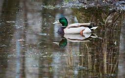 Wild duck floats Royalty Free Stock Photos