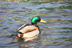 The wild duck floats on the water Stock Photography