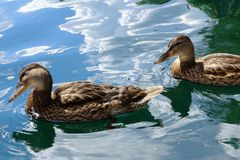 Wild duck floats on water. Perfect lovely bird. The world of animals around Stock Image
